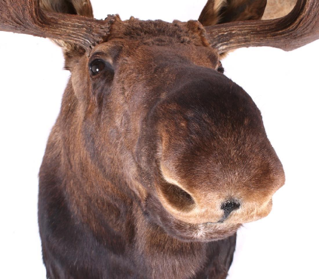 HUGE Trophy Yukon Bull Moose Shoulder Mount - 10