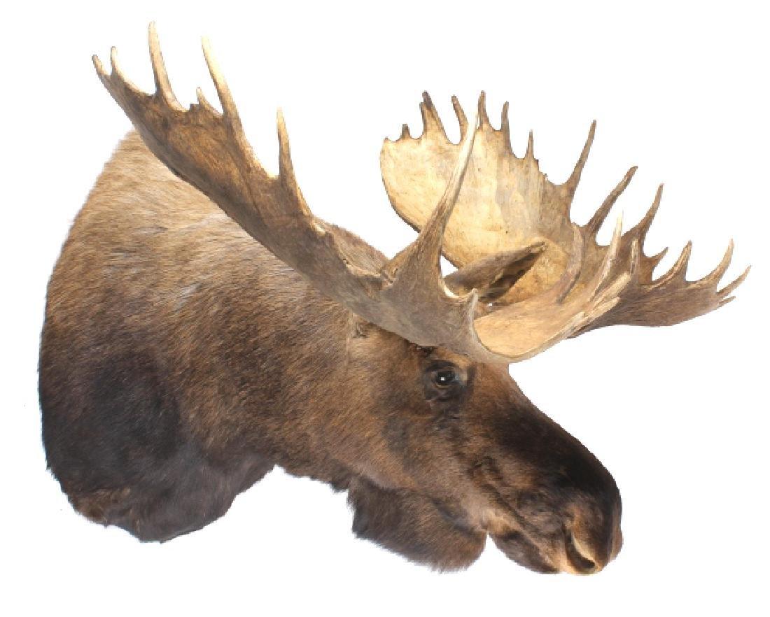 HUGE Trophy Yukon Bull Moose Shoulder Mount