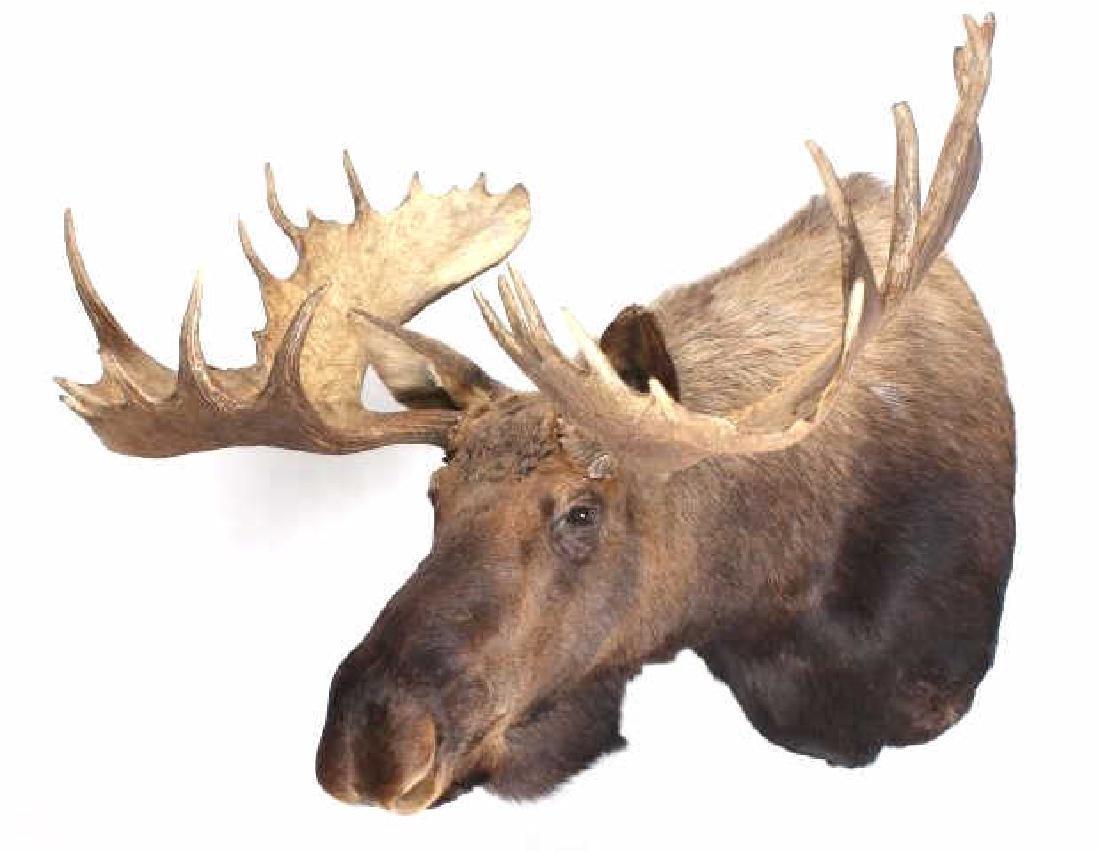 HUGE Trophy Yukon Bull Moose Shoulder Mount - 2