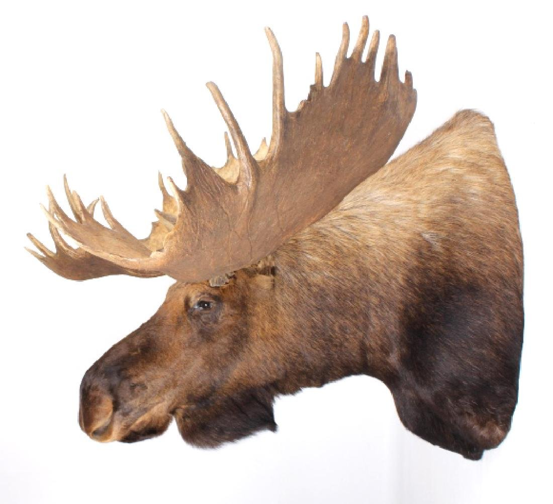HUGE Trophy Yukon Bull Moose Shoulder Mount - 3