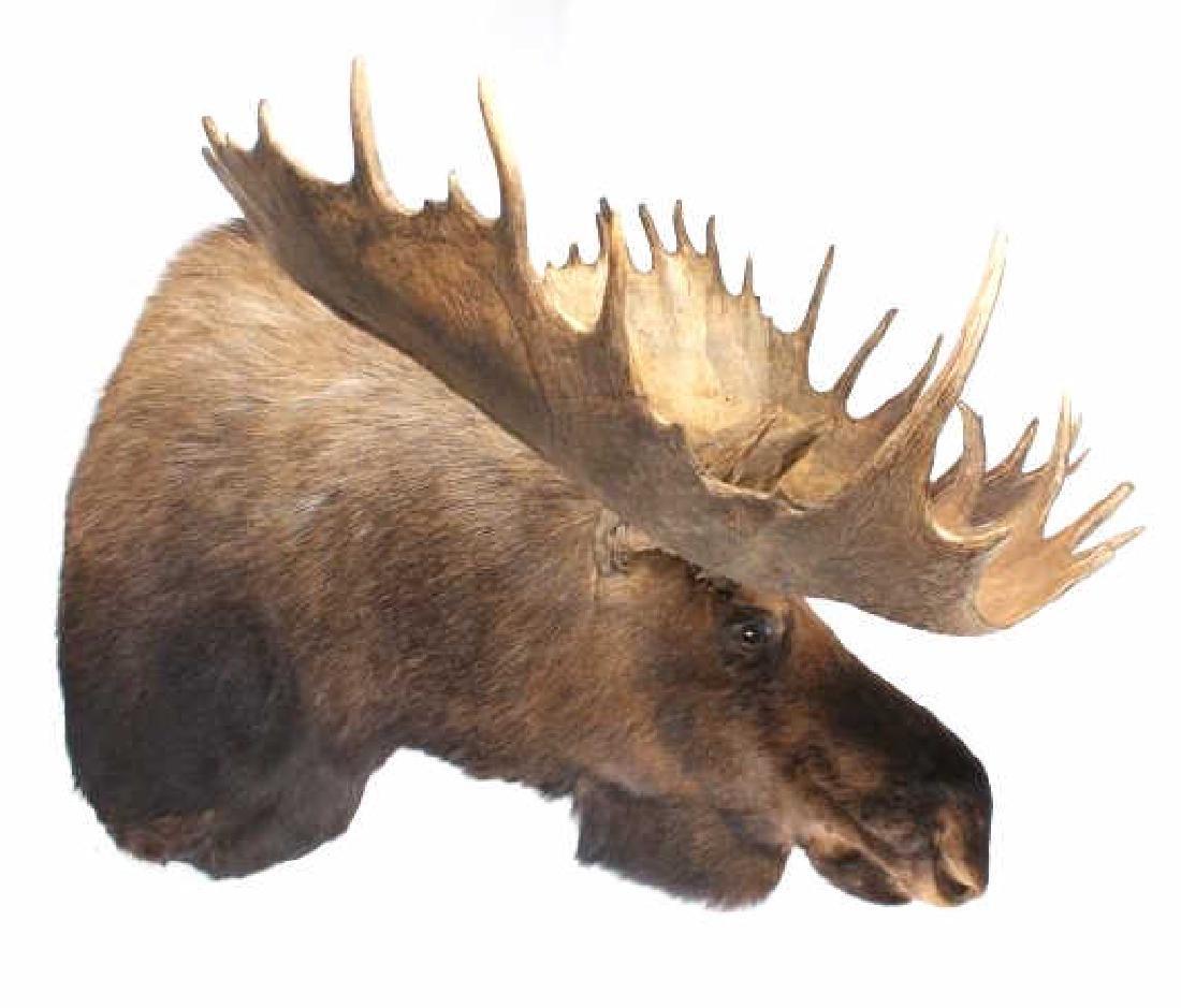HUGE Trophy Yukon Bull Moose Shoulder Mount - 4