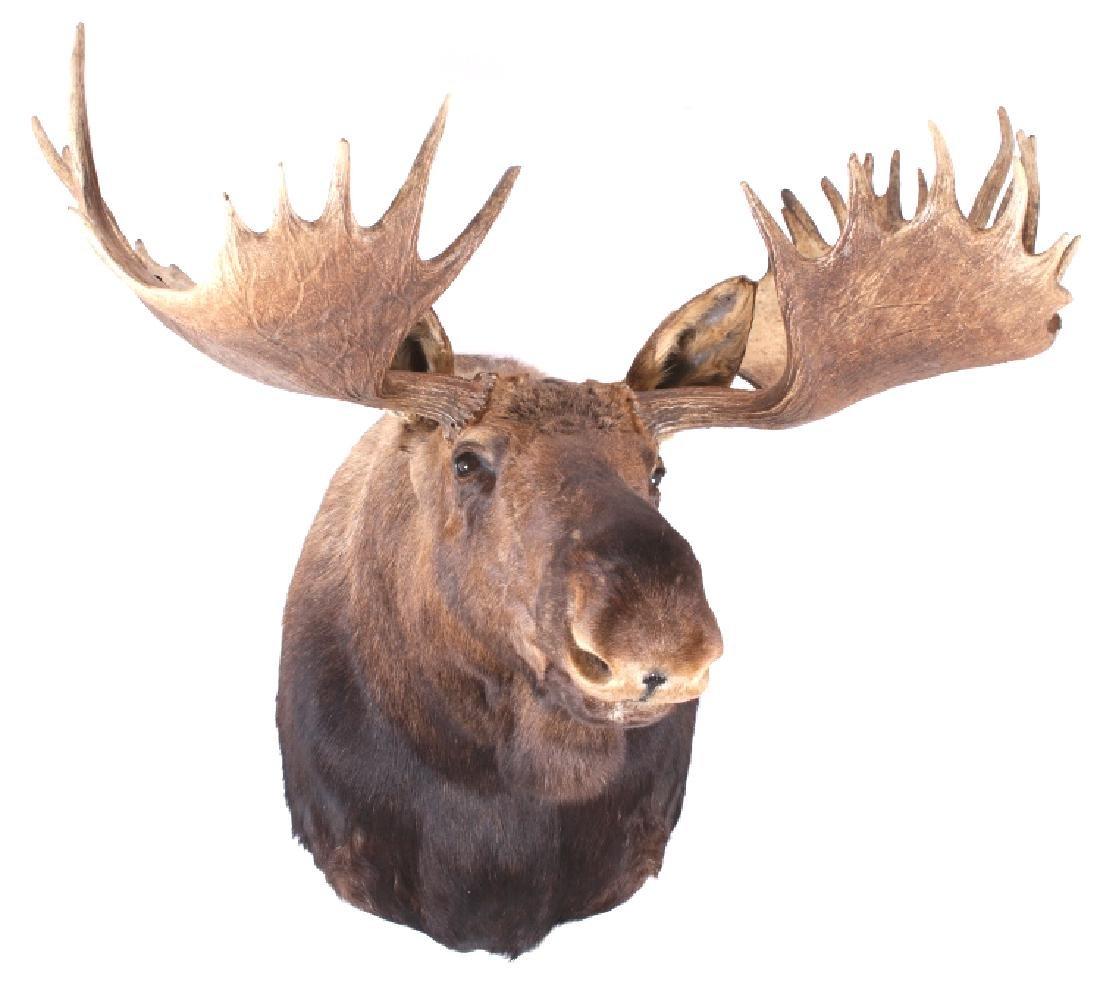 HUGE Trophy Yukon Bull Moose Shoulder Mount - 5