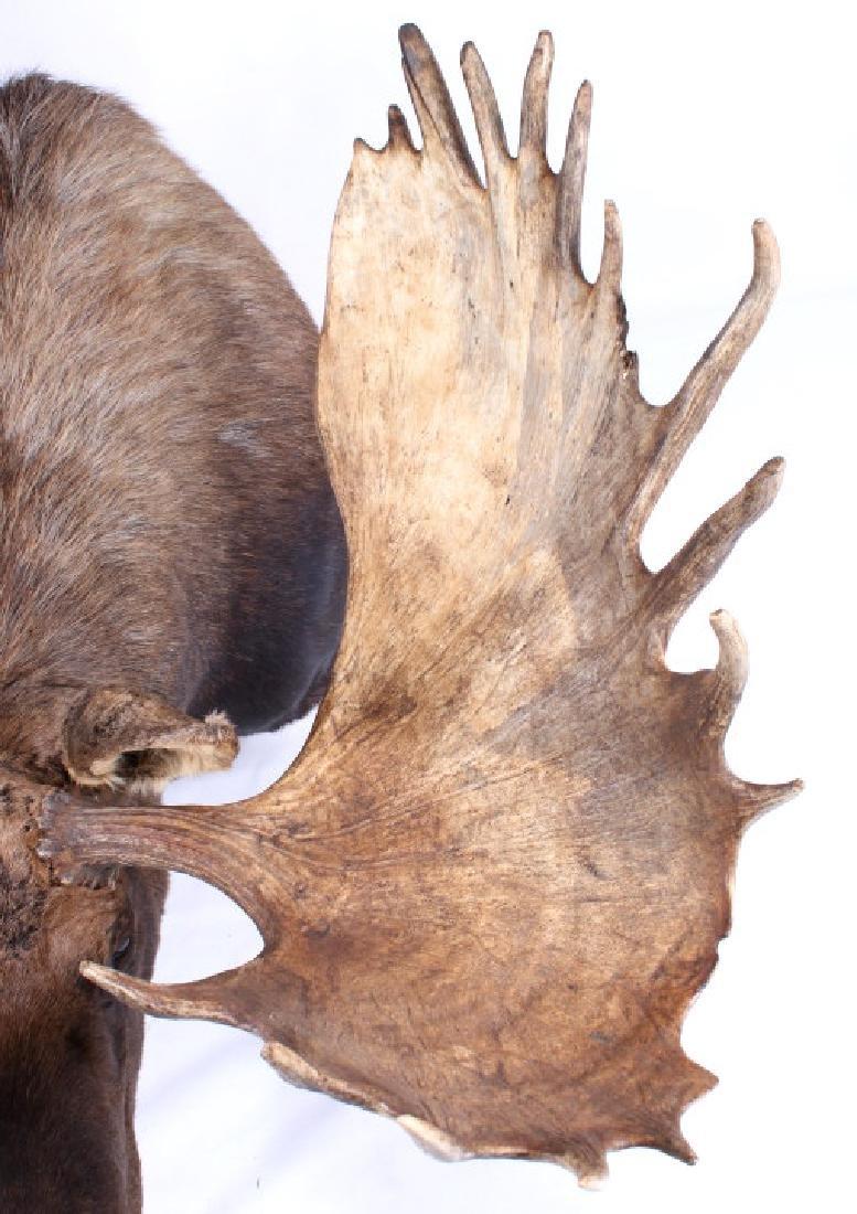 HUGE Trophy Yukon Bull Moose Shoulder Mount - 6