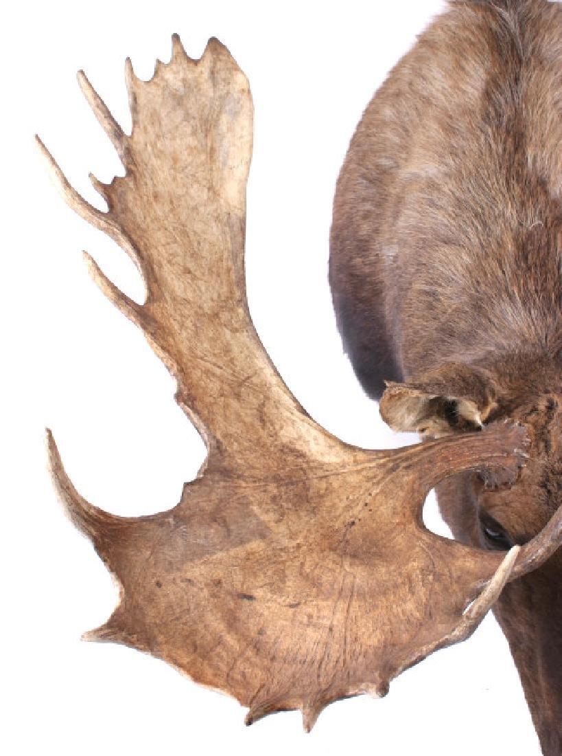 HUGE Trophy Yukon Bull Moose Shoulder Mount - 7