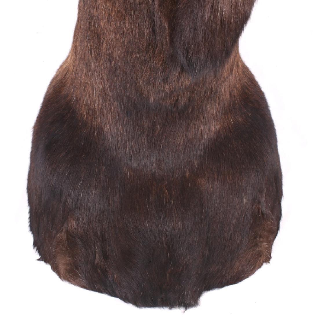 HUGE Trophy Yukon Bull Moose Shoulder Mount - 9