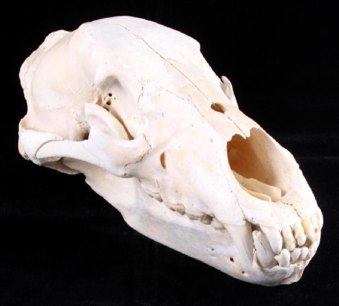 Large Alaskan Grizzly Bear Taxidermy Skull