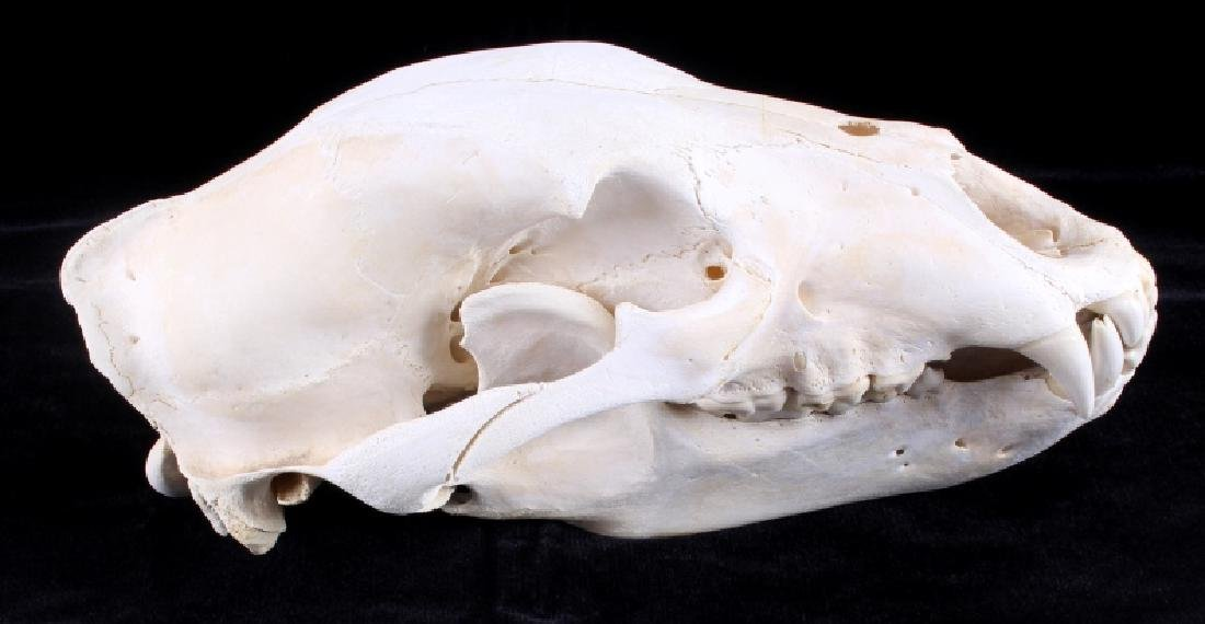Large Alaskan Grizzly Bear Taxidermy Skull - 2