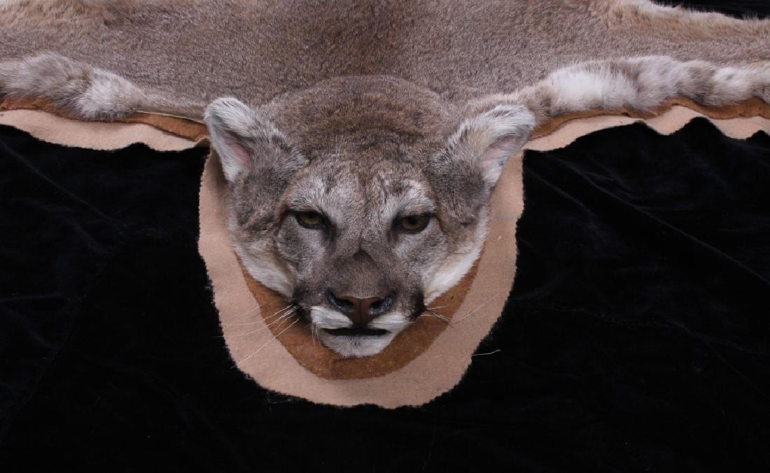 Trophy Montana Mountain Lion Taxidermy Rug Mount - 5