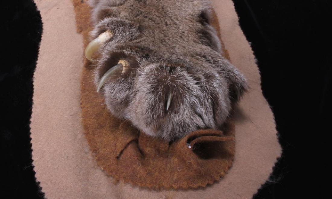 Trophy Montana Mountain Lion Taxidermy Rug Mount - 6