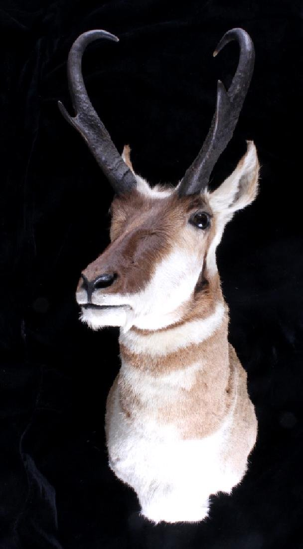 Montana Pronghorn Trophy Taxidermy Shoulder Mount
