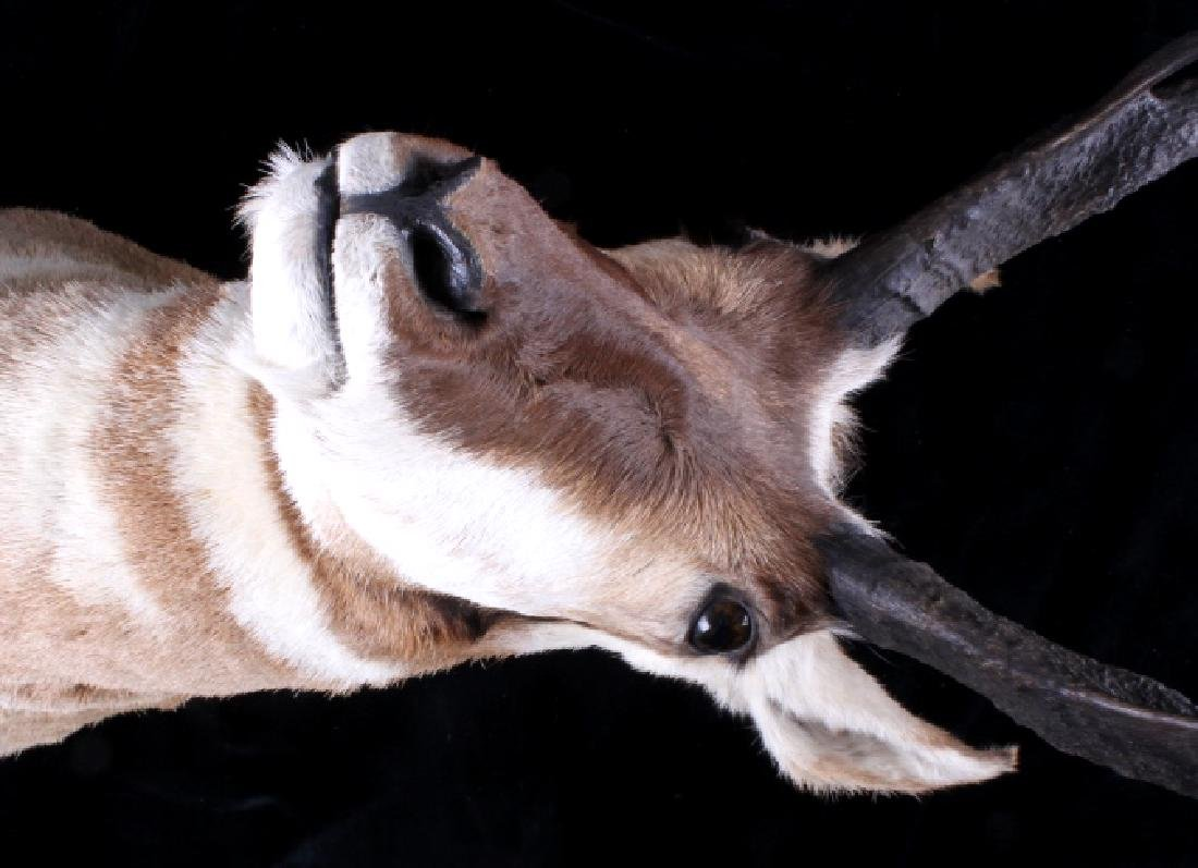 Montana Pronghorn Trophy Taxidermy Shoulder Mount - 2