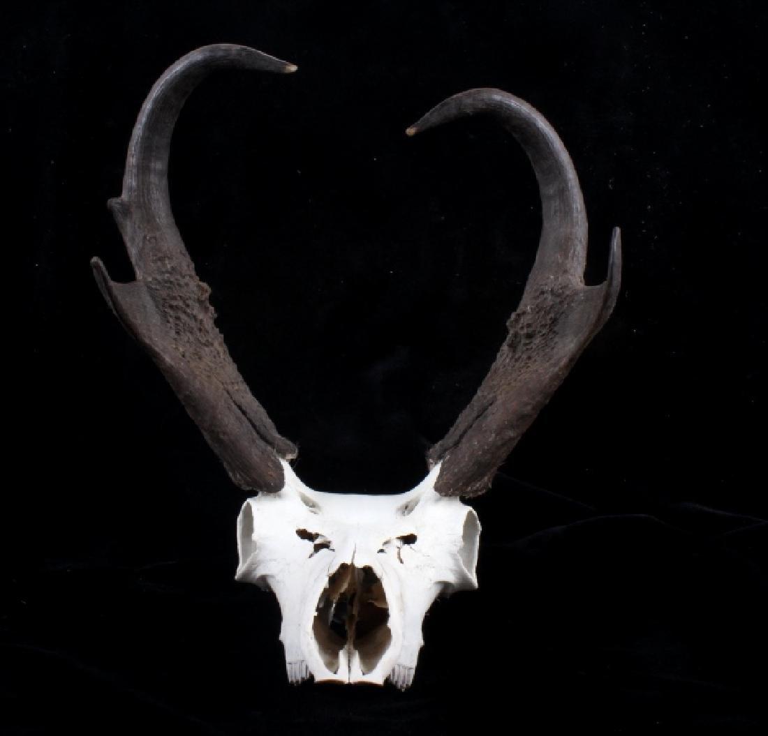Montana Pronghorn Antelope Euro-Mount - 3