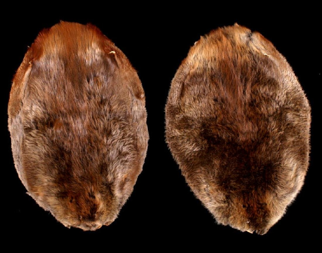 Two Tanned Montana Beaver Pelts