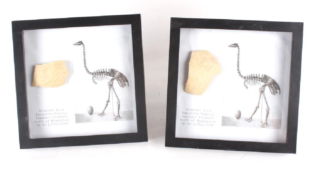 Elephant Bird Eggshell Ancient Fossil