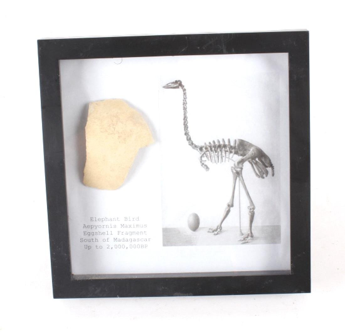 Elephant Bird Eggshell Ancient Fossil - 7