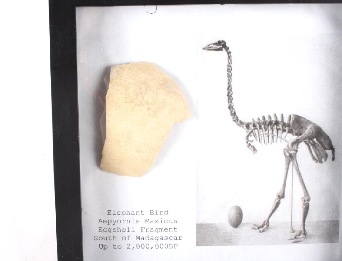 Elephant Bird Eggshell Ancient Fossil - 8