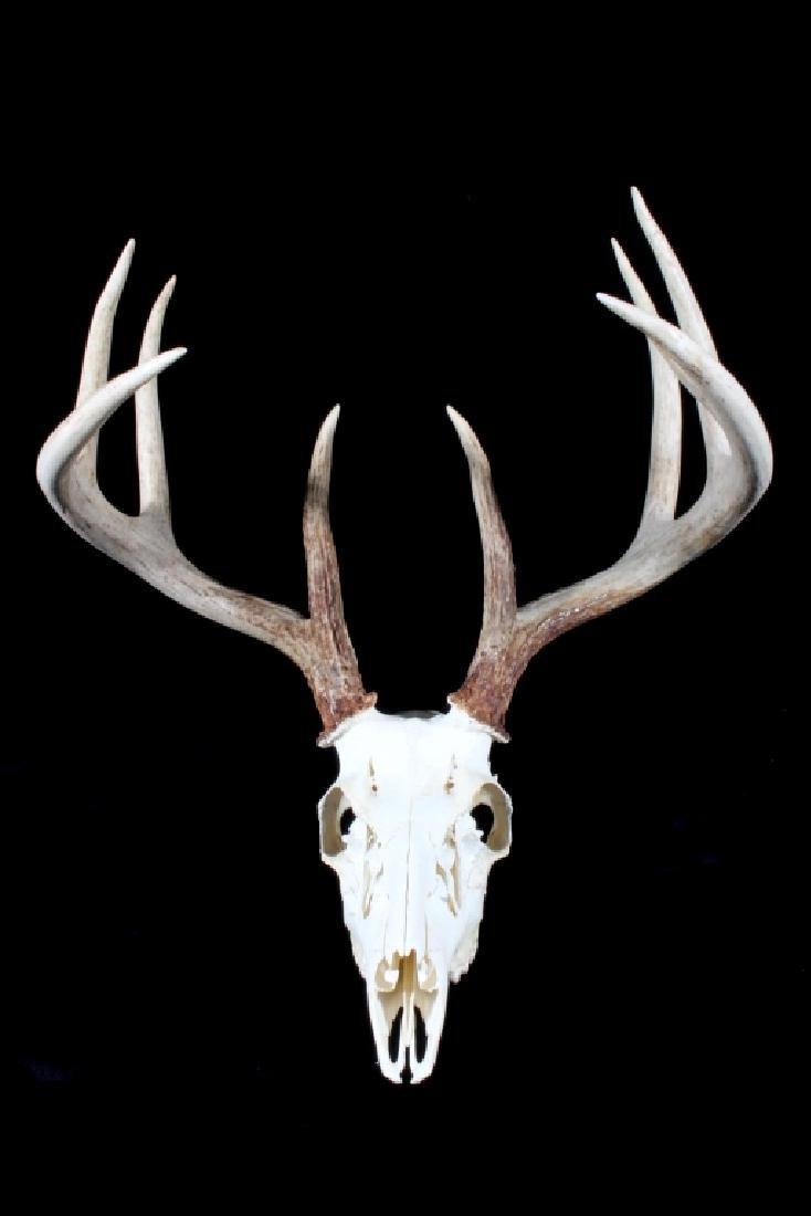 5x4 Montana European Mount Trophy Buck
