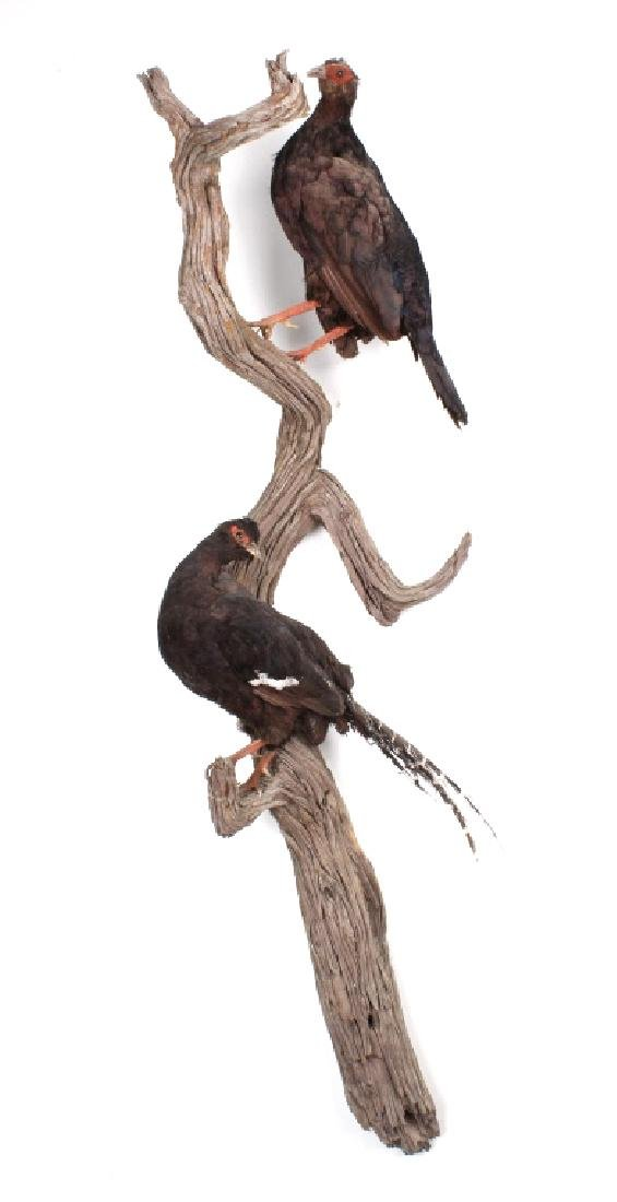 Pair of Black Pheasants Taxidermy Mount