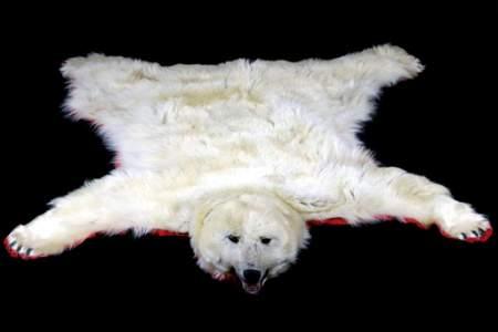 Excellent Polar Bear Taxidermy Rug Mount