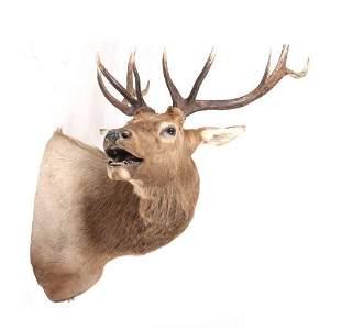 Montana Rocky Mountain 5x5 Bull Elk Shoulder Mount