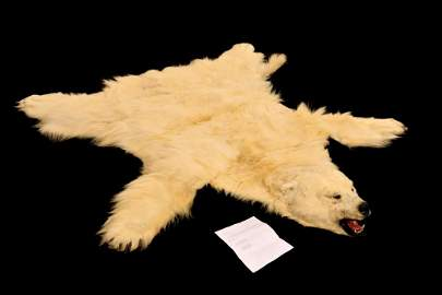 Excellent Alaska Polar Bear Taxidermy Hide Rug