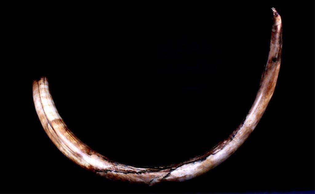 Rare Mammoth Ivory Tusk