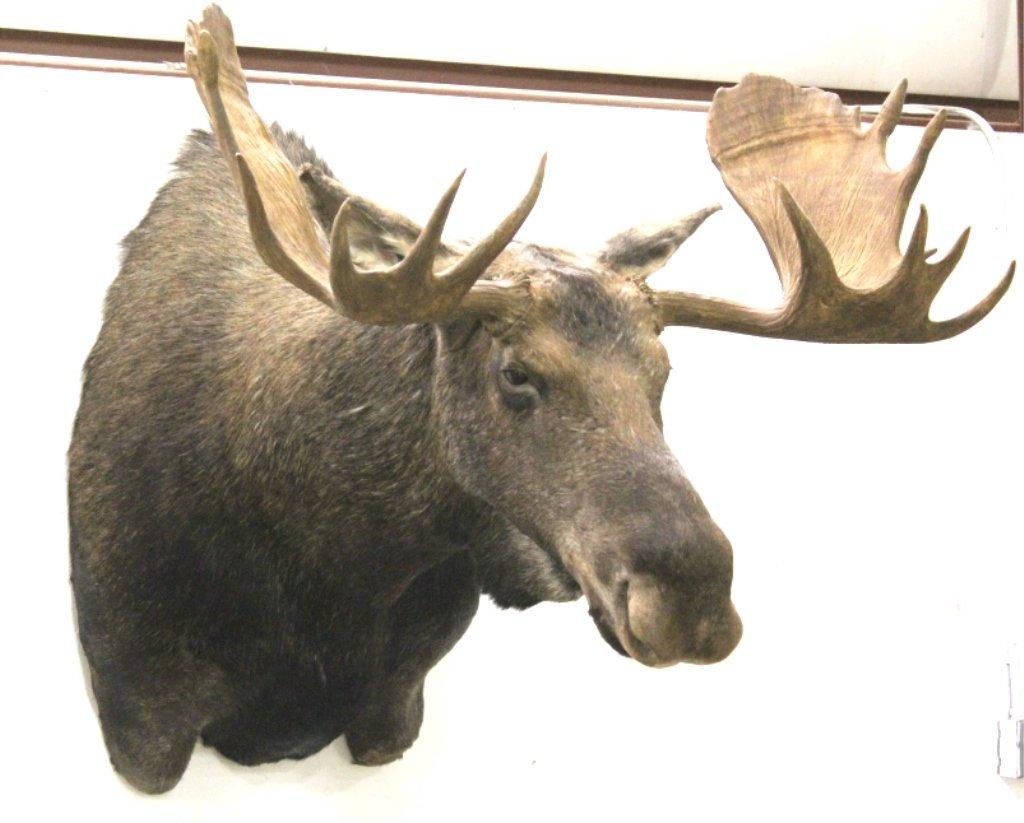 Alaska Moose Shoulder Mount Detachable Antlers