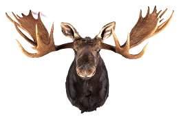 Montana Shiras Moose Shoulder Mount 66 Inch Spread