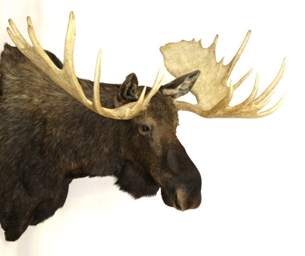 "Alaskan Moose Mount 64"" Boone & Crockett This is a"