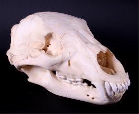 Montana Black Bear Skull