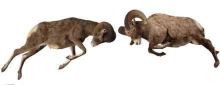 Bighorn Sheep Ram Two Full Mounts Charging
