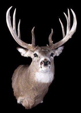 Trophy Montana Whitetail Shoulder Mount
