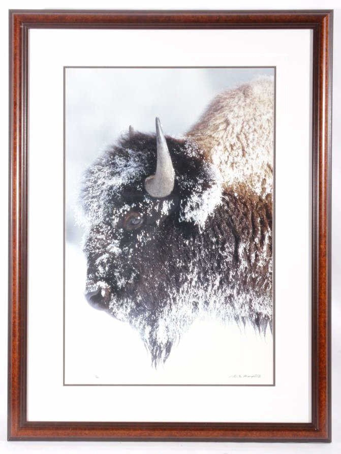 Old Man Winter Buffalo Photograph Thomas Mangelsen