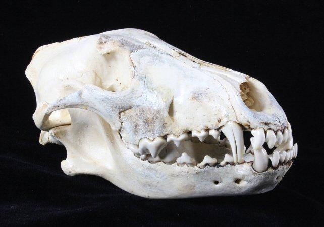 Montana Timber Wolf Skull