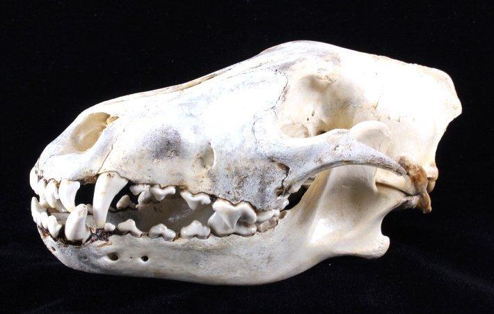 Montana Timber Wolf Skull - 2