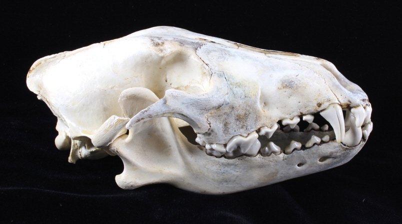 Montana Timber Wolf Skull - 5