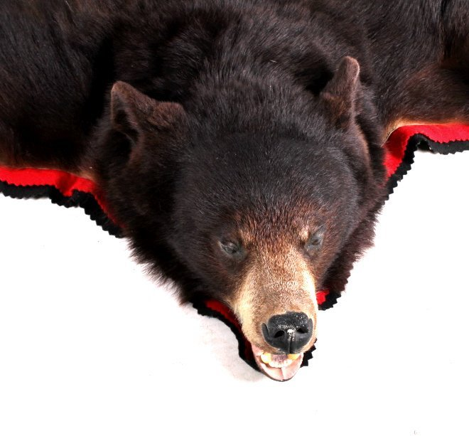 Montana Cinnamon Black Bear Trophy Rug - 7