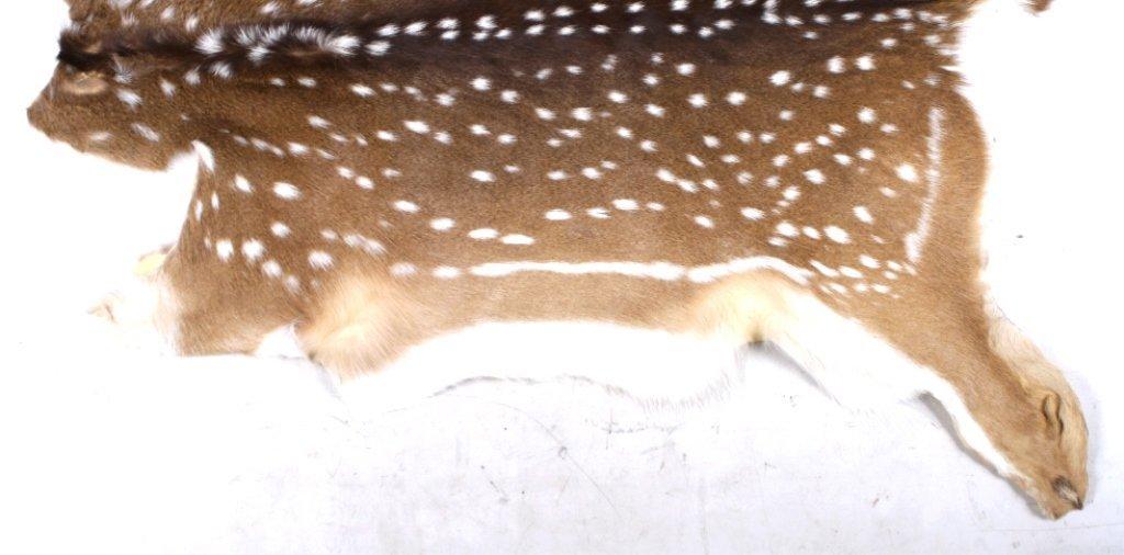 Trophy Fallow Deer Hide - 4