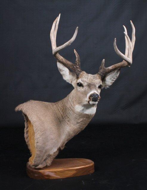 Trophy Montana Whitetail Deer Mount