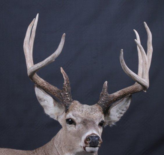 Trophy Montana Whitetail Deer Mount - 2