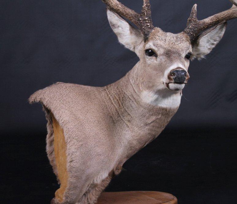 Trophy Montana Whitetail Deer Mount - 3