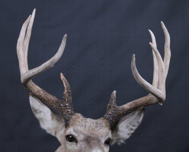 Trophy Montana Whitetail Deer Mount - 4