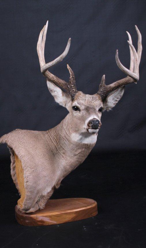 Trophy Montana Whitetail Deer Mount - 5