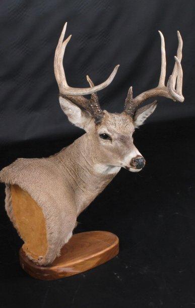 Trophy Montana Whitetail Deer Mount - 6