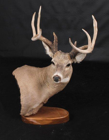 Trophy Montana Whitetail Deer Mount - 7