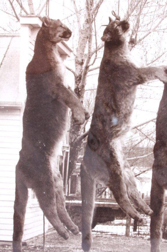 Original Highlander Mountain Lion Photograph - 6