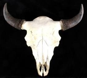 Large Montana Buffalo Skull