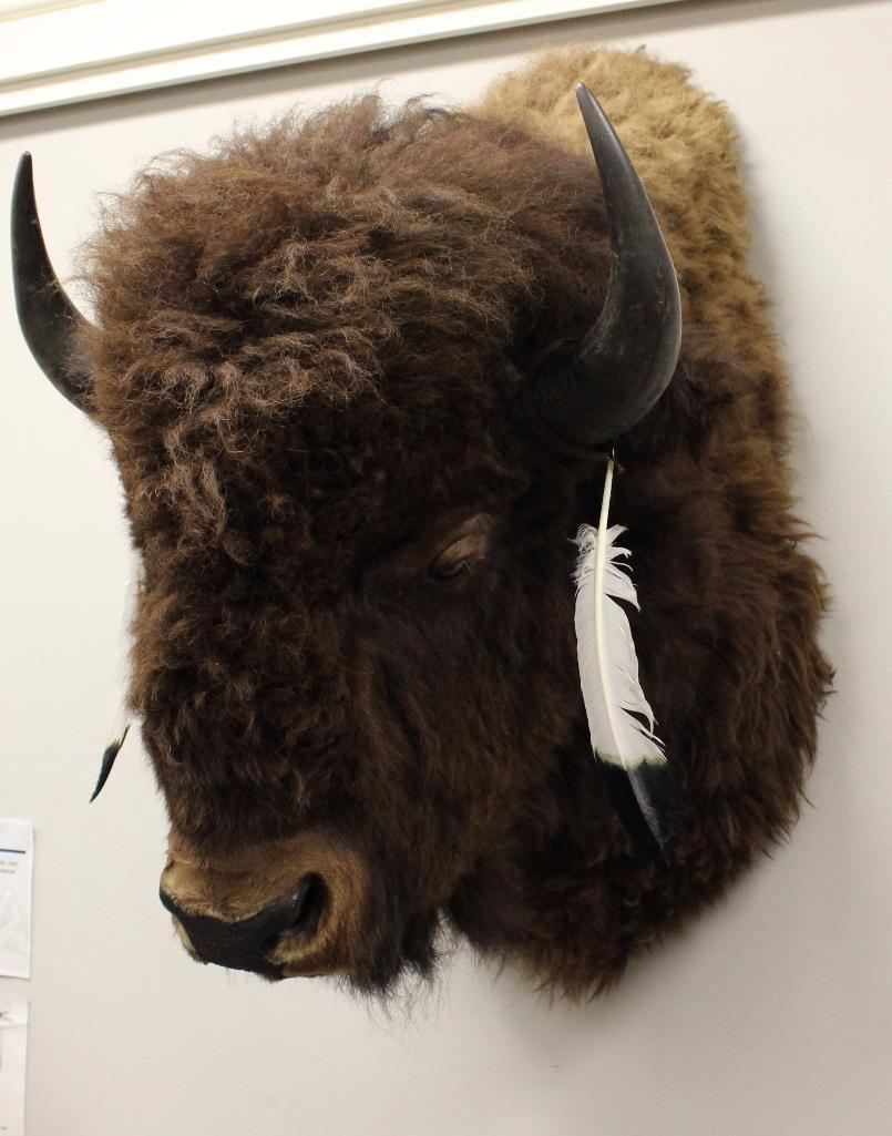 Buffalo Shoulder Mount - 2