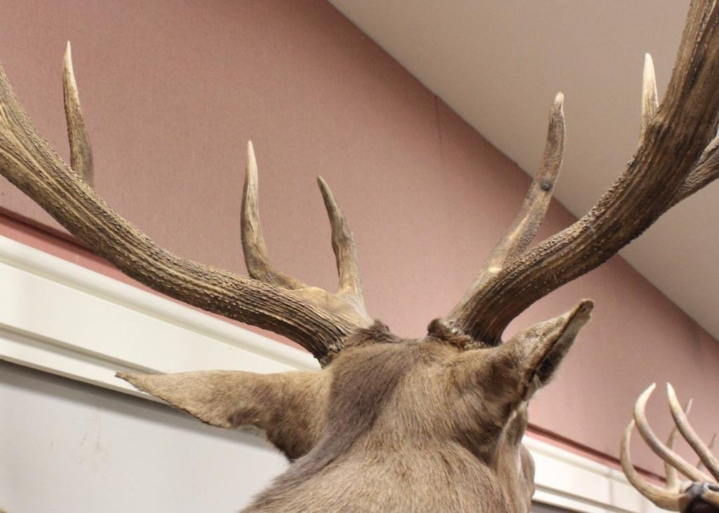 Bugling Bull Elk Shoulder Mount - 3