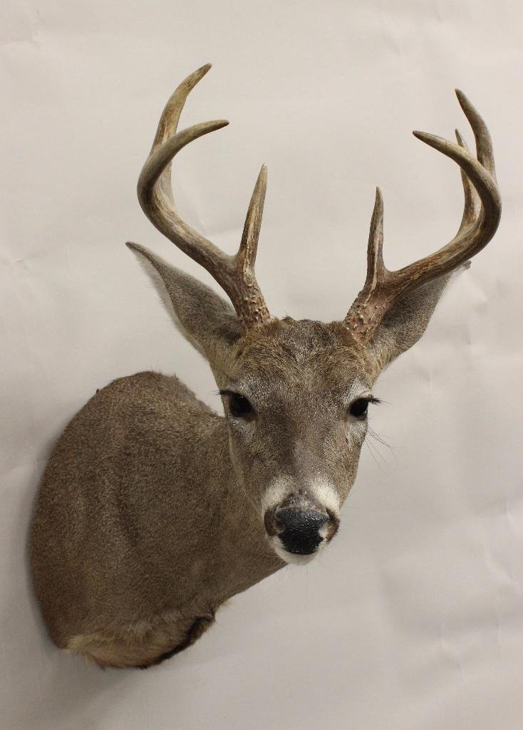 Whitetail Buck Shoulder Mount